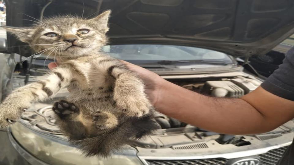 סוף טוב,גור חתולים חולץ מתוך מנוע רגע לפני שבעלת הרכב עלתה לנסיעה