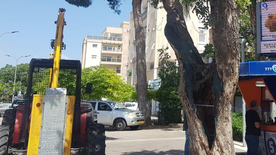 עיריית קריית ביאליק בפרויקט הצלת עץ חרוב עתיק