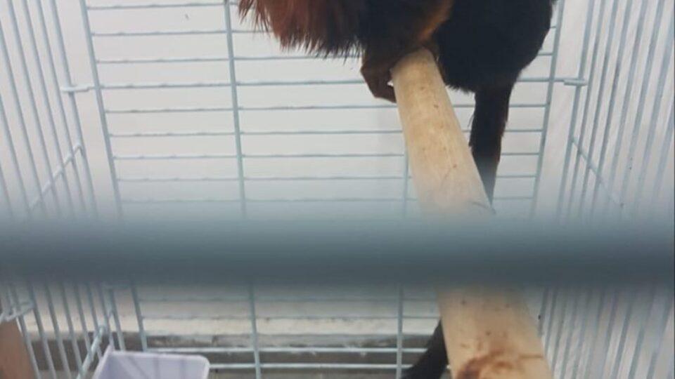נעצרו שלושה חשודים מקריית אתא שגנבו קוף מגן החות החי פארק